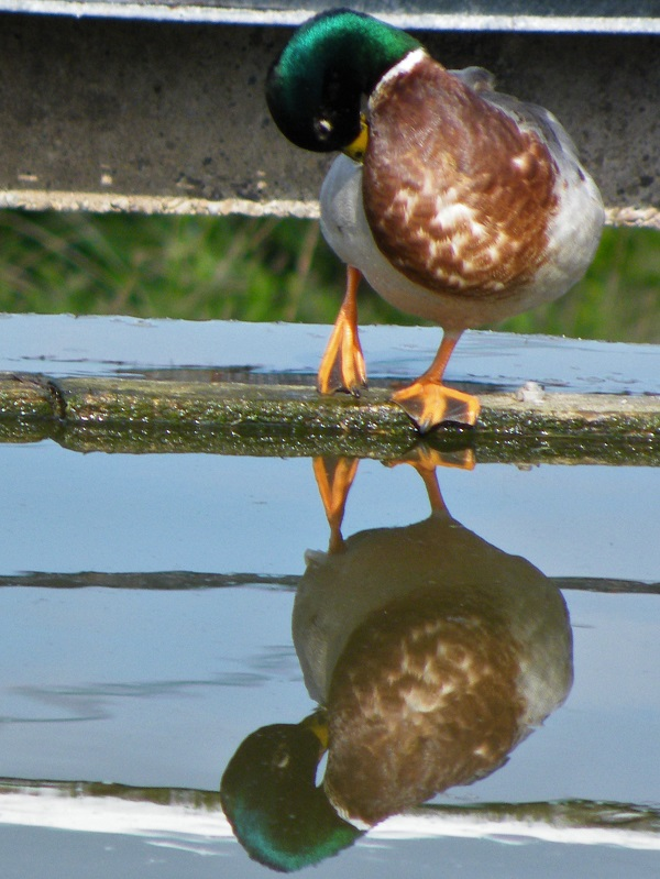 A duck reflected in water.