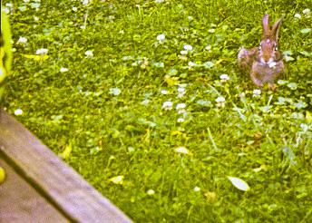 The Lesser Pennsylvania Yard Bunny.