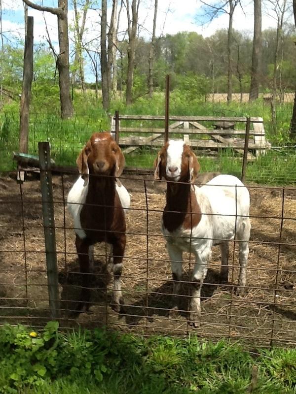 Cheerful goats.