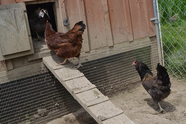 Chickens proceeding in a dignified way into the henhouse.