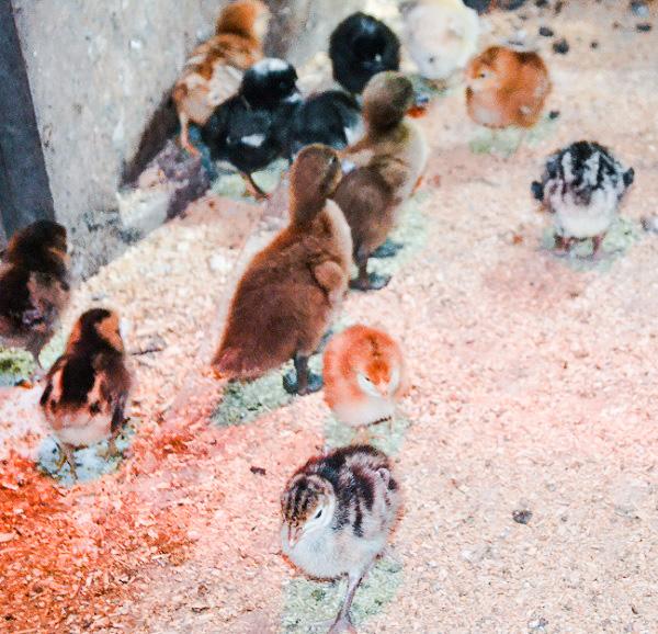 Baby chicks, baby turkeys, baby ducks. They're all cute.