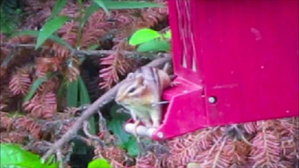 Tammy the Chipmunk on bird feeder