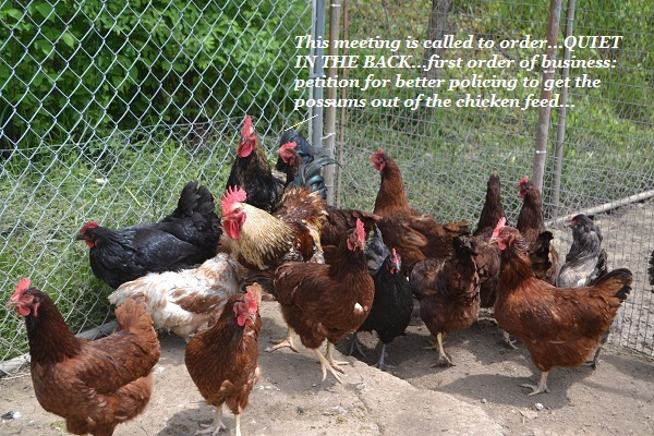 An outrage meeting of hens.
