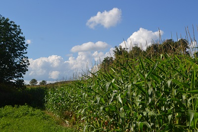 A field of maize in late summer.