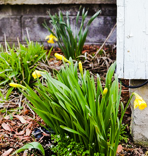 Some daffodils trying to make it be spring in Pennsylvania.