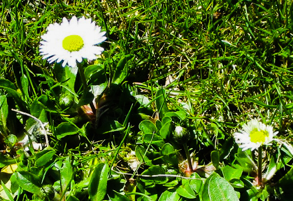Daisies by DG