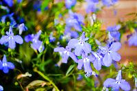 Die blaue Blume.