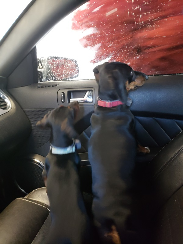 Dogs in a Car Wash by Mrs McGillicuddy