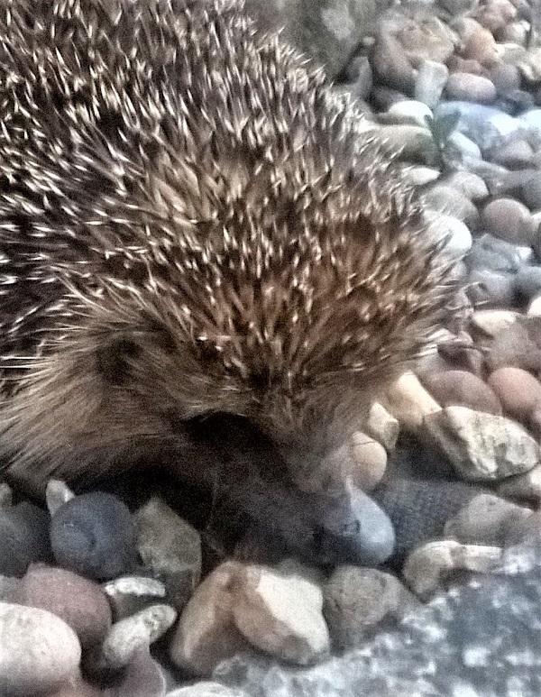 Hedgehog camouflage
