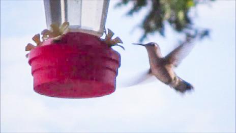 Hummingbird in Late Sunshine by Dmitri Gheorgheni