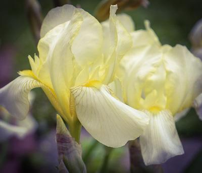 An iris in bloom.