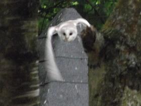 A barn owl heading straight for SashaQ.