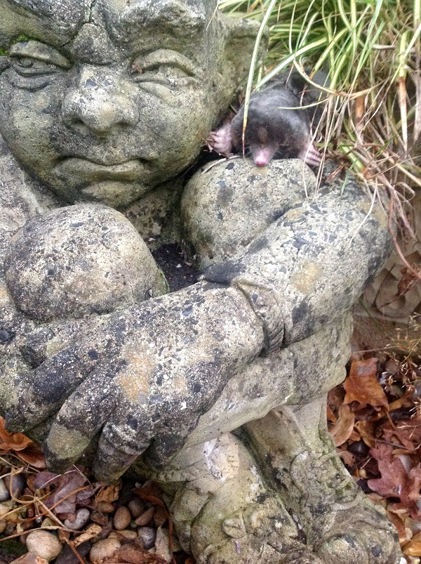 A mole sitting on the shoulder of a gnome in FWR's garden