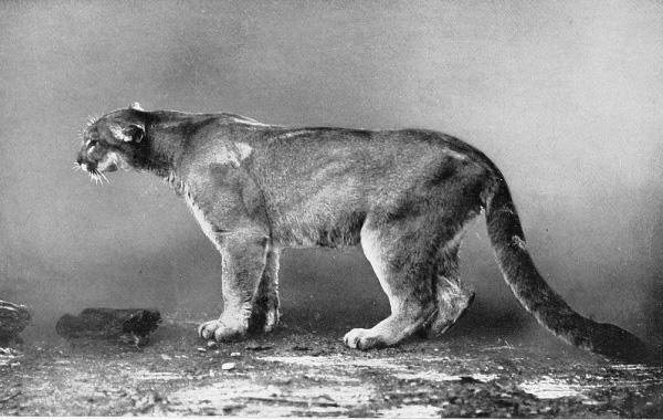 Pennsylvania Panther.