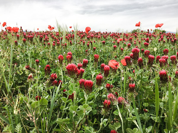 Field of poppies and red clover by Tavaron.