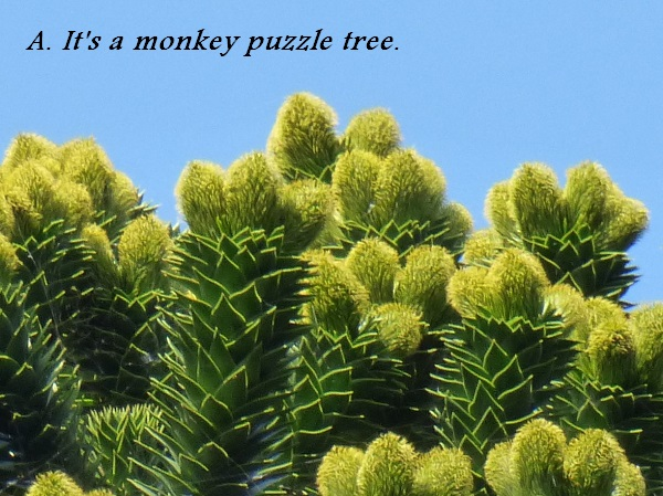 This is a monkey puzzle tree.
