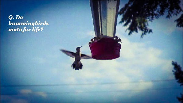 Do hummingbirds mate for life?