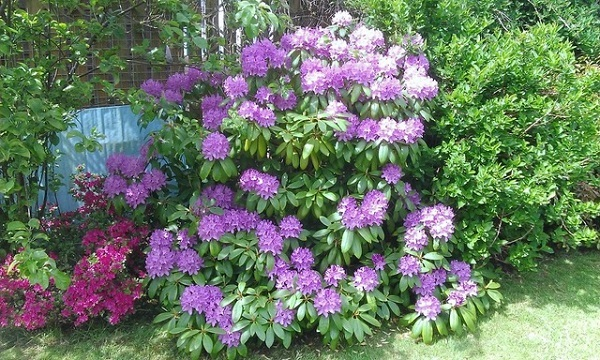 Rhododendrons by Paigetheoracle