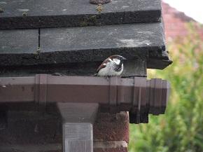 House sparrow by SashaQ.
