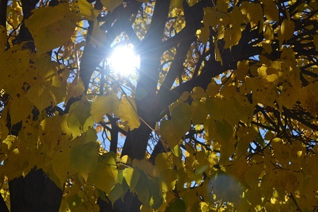 The sun through yellow leaves.