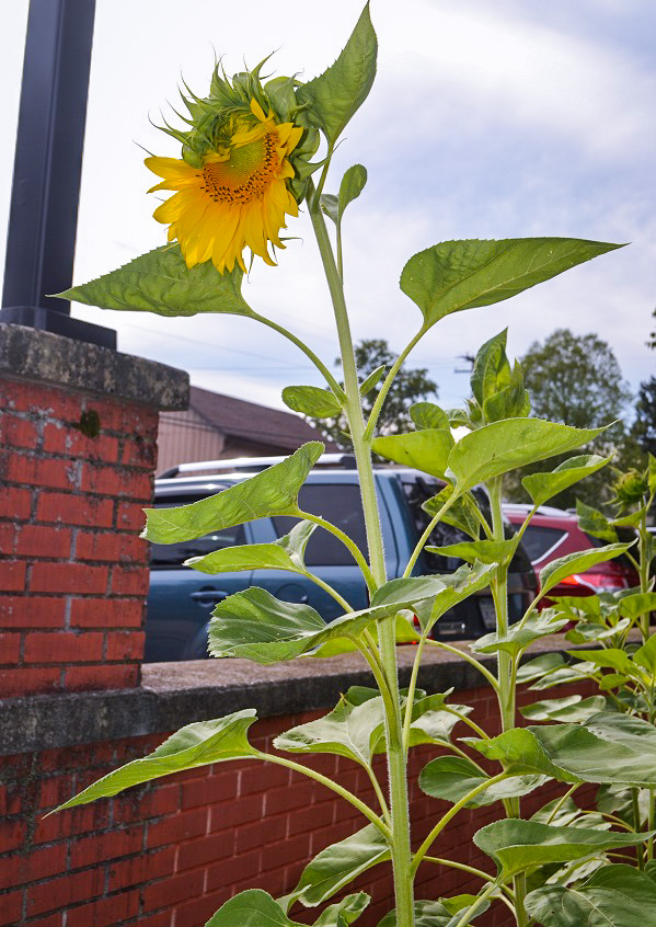 The first sunflower peeks over the car park.