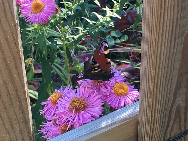 European Peacock butterfly seen out the window on some aster flowers.