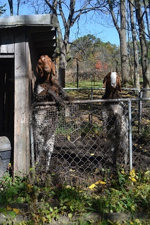 Two smart-aleck goats.