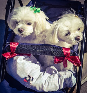 Two dogs in a pram.