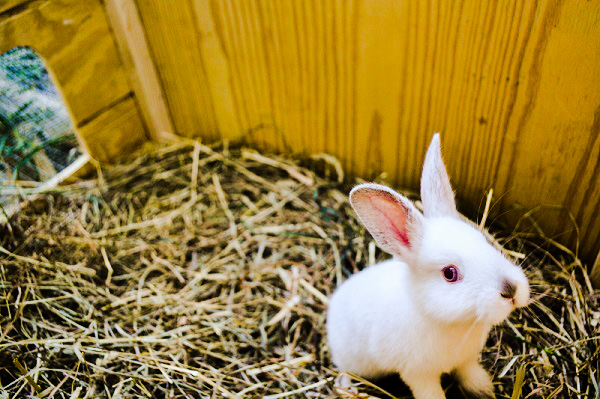 A white rabbit in a hutch.