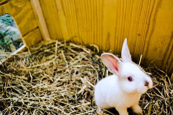 A white rabbit in a hutch.