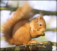 A rare red squirrel - found in large numbers along the Sefton Coastal Footpath.
