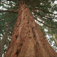 A Giant Redwood tree, one of the many examples of imported trees grown in Cambridge University's botanic garden.
