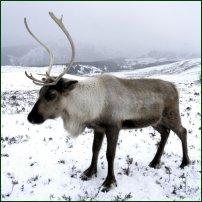 A Cairngorm reindeer.