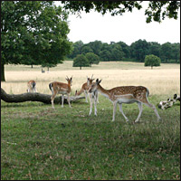 The deer of Richmond Park.