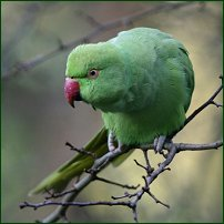 A ring-necked parakeet.