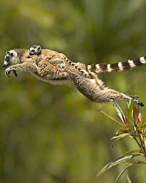 Ringtail lemur and baby lemur from BBC Two's 'Madagascar'