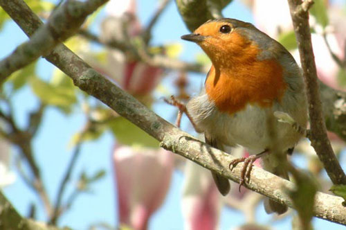 A robin standing on one leg