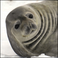 A lovely seal possiby perplexed at fellow seal Hoover's extraordinary ability to talk like a human.