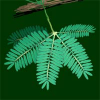 The leaves of a Mimosa - a sensitive plant.