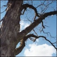 A shagbark tree.