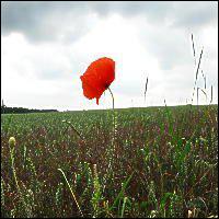A poppy.