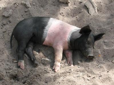 A sleeping piglet.