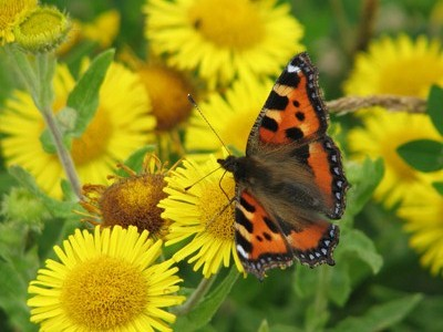 Small tortoiseshell butterfly on yellow flower.