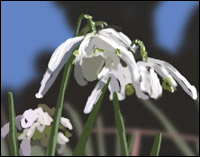 Snowdrops - small white flowers blooming on a Spring afternoon.