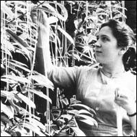 A picture of woman harvesting spaghetti from a 1957 episode of BBC's Panorama.