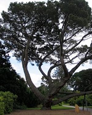 A Stone Pine tree