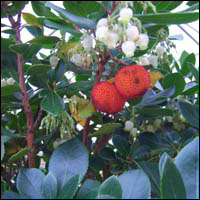Two plump-looking strawberries on a strawberry tree.