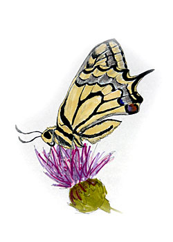 An illustration of a swallowtail