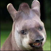 A rather happy-looking tapir. Can that really be a smile on its face? We promise we didn't fiddle with the picture or anything.