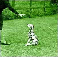 A dog trainer gives a command to a Dalmatian puppy.
